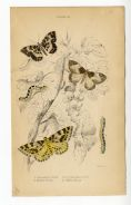 1836 MOTHS Gooseberry Moth MOTTLED BEAUTY Clifden CATERPILLARS Antique Print JARDINES Hand Colour